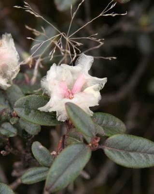 高山シャクナゲの花