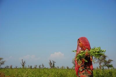 ヘナの収穫