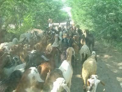 羊飼いに先導される羊の群れ