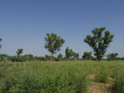 ヘナ畑の地平線