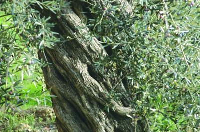 樹齢数百年のオリーブの木
