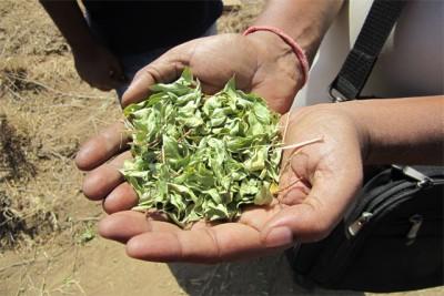 ヘナの乾燥葉