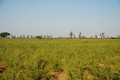 4_ヘナ畑