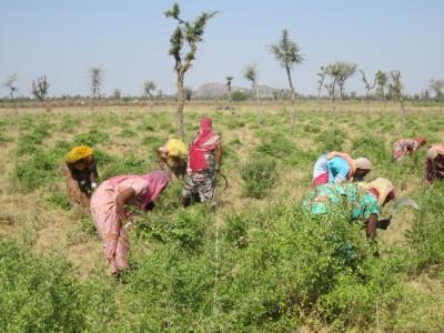 5_ヘナの収穫