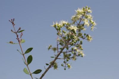 1_ヘナの木