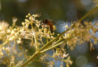 オオミツバチ