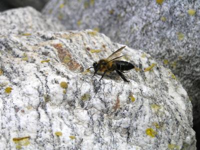 ヒマラヤオオミツバチ