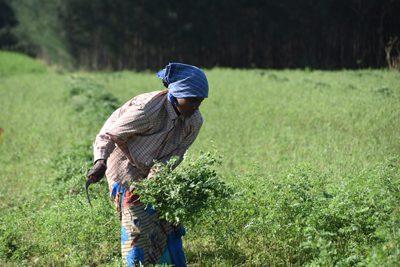 木藍の収穫