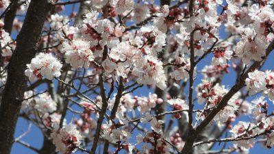アプリコットの花